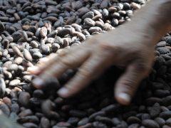 Hallan una propiedad del cacao que destruye las células cancerosas