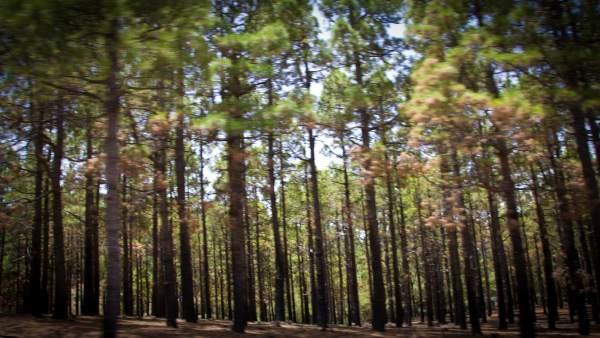 Campo de pinos en la cumbre de Gran Canaria