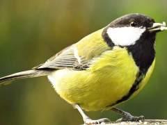El estrés de la ciudad produce que los pájaros envejezcan antes