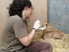Nacen dos crías de gacela dama mohor en el Zoo de Barcelona