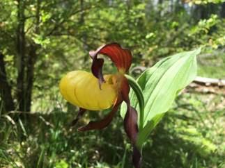 Orquídea zapatito de dama
