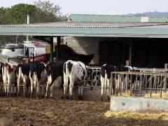 Detienen a un hombre tras encontrar en su granja a 21 vacas muertas de sed y hambre