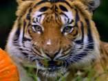 Imagen de archivo de un tigre asiático