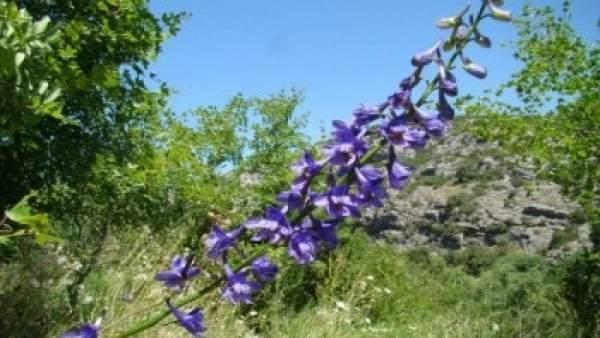 Delphinium bolosii