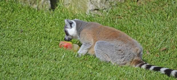 """Los animales salvajes en Bioparc Valencia combaten el calor de forma """"muy sabros"""