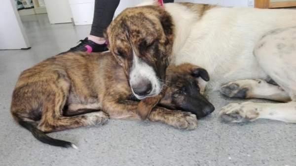 Los dos perros descansan tras ser rescatados