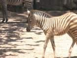 Una de las zebras que habita en el Bioparc