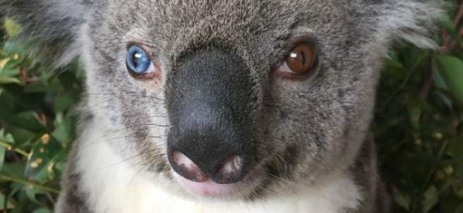 El koala David Bowie