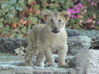 Nueva cría de león en el Zoo de Barcelona