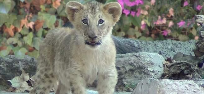 Nueva cría de león en el Zoo de Barcelona.