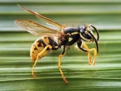 Consejos para actuar en caso de sufrir una picadura de avispa