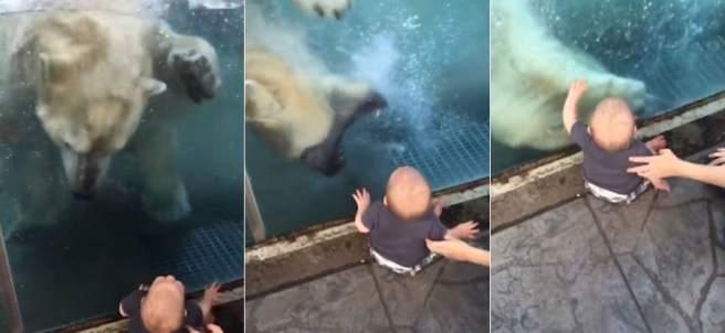 Un oso polar intenta atacar a un bebé