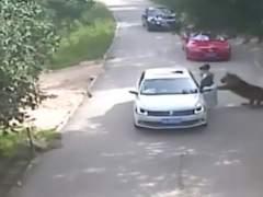 La mujer china atacada por un tigre se encuentra en estado grave