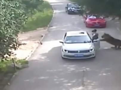 Momento del ataque mortal de un tigre a una mujer en un safari de China