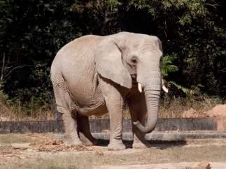 Elefante en un zoológico.