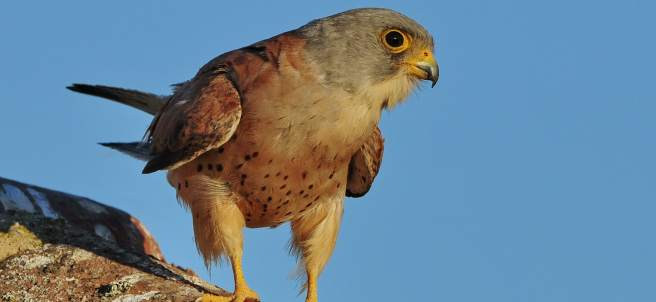 Aves, ornitología