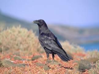 Cuervo canario