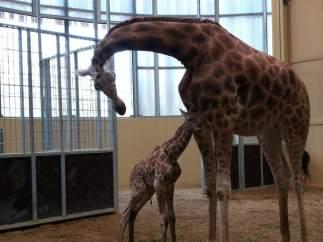 NOTA DE PREMSA (VÍDEO) Neix Una Girafa Al Zoo De Barcelona