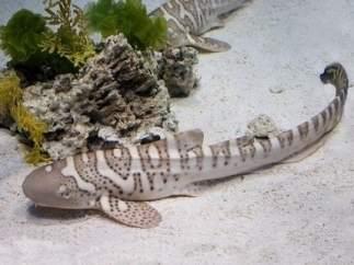 Cría de tiburón cebra