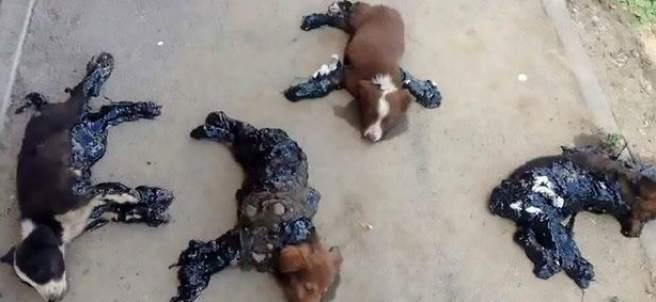 Los cuatro cachorros en estado muy grave al haber sido torturados con alquitrán caliente y abandonados a su suerte