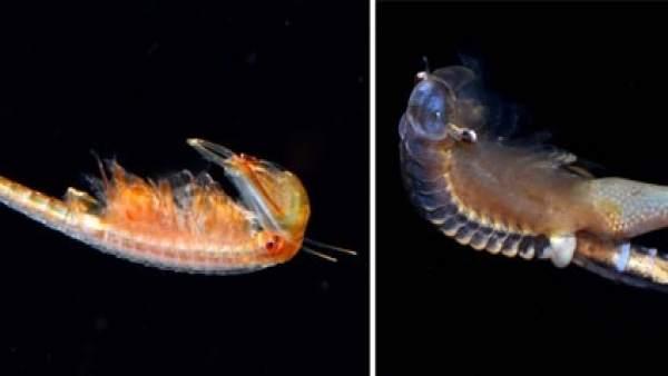 'Chirocephalus Diaphanus', Anostráceos (Crustáceos Branquiópodos)