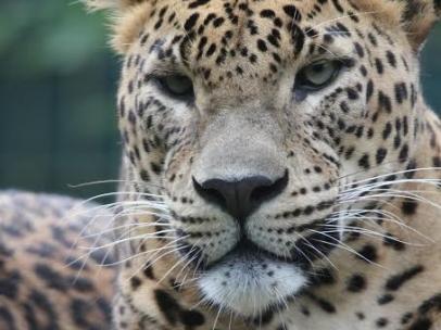 Leopardo asiático