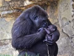 Gorila recién nacido junto a su madre en el Bioparc