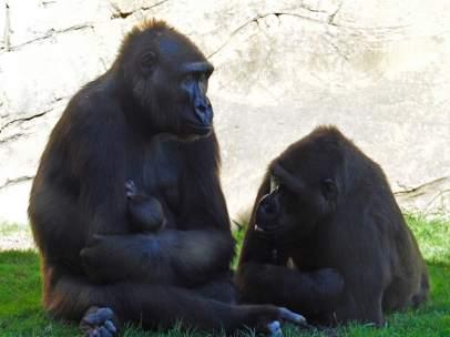 Gorilas en el Bioparc de Valencia
