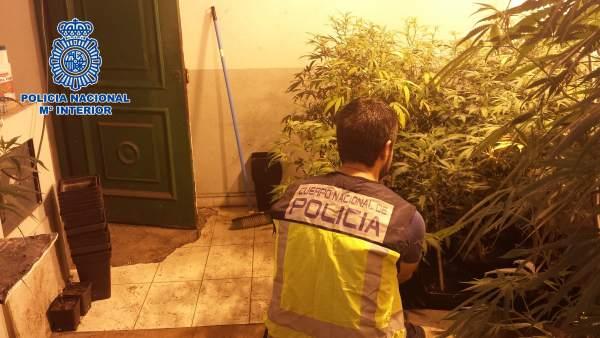 Plantación de marihuana en La Línea