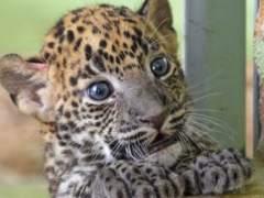Una cría de leopardo de Sri Lanka nace en el Bioparc de Valencia