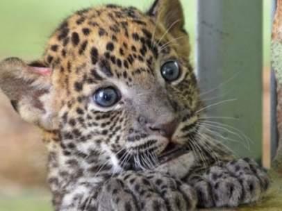Una cría de leopardo de Sri Lanka