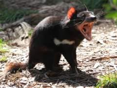Los demonios de Tasmania, más resistentes al cáncer facial