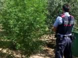 Los Mossos decomisan plantas de marihuana