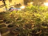 Plantación de marihuana decomisada a una banda criminal