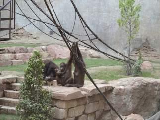 Nace Cría De Orangután En Bioparc Fuengirola