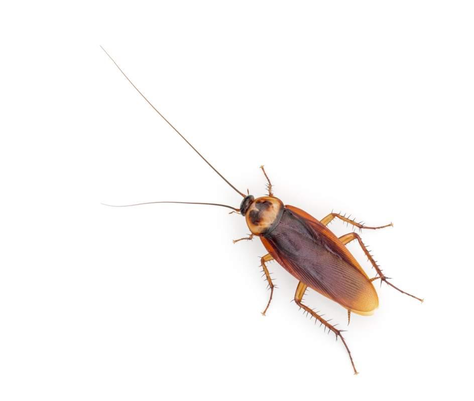 La Verdad Sobre El Mito De Las Cucarachas Inmunes Al