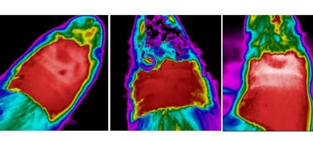 Investigación de la USC para disminuir masa corporal en ratas obesas.