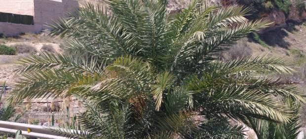 Localitzada a Elx (Alacant) la primera palmera nativa ibèrica a la Comunitat Valenciana