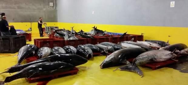 Atún rojo decomisado en Pasaia