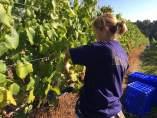 Viñedos de Terras Gauda, con bagazo convertido en abono orgánico