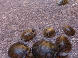 Tortugas incautadas
