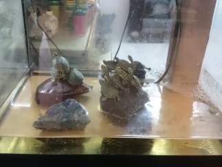 Tortugas de Florida (Trachemys scripta) incautadas