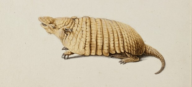 'Six-banded Armadillo (Yellow Armadillo)', c. 1638–44