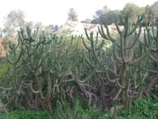 Especie exótica denominada Cacto alesnado