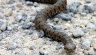 Cómo identificar a la única serpiente venenosa europea