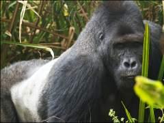 El simio más grande del mundo, a punto de desaparecer