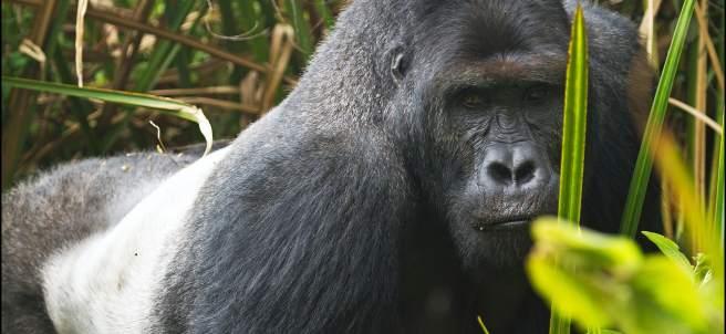 Gorila de Grauer