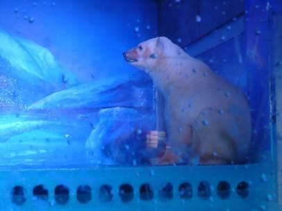 Pizza, el oso polar