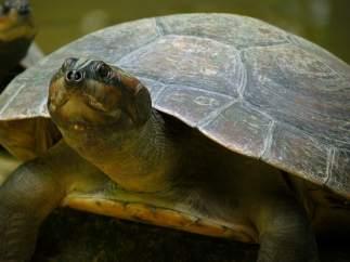 Tortuga de la reserva Amazonía de Perú