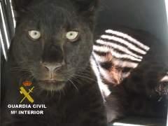 Pantera negra hallada en un núcleo de Arboleas